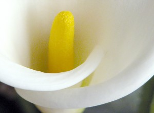 Calla Lily Detail1 300x222 Photographing Flowers as Portraits