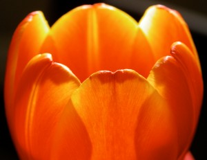 tulip1 300x231 Photographing Flowers as Portraits